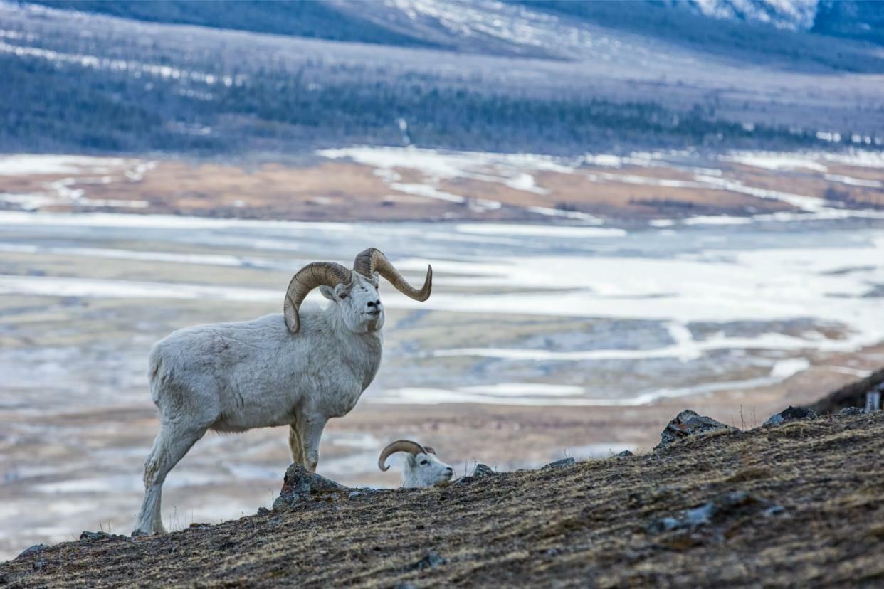 Mountain Goats Yukon